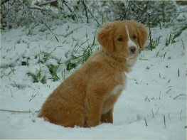 Do in snow Nova Scotia Duck Tolling Retriever