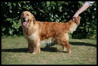 Ginny Golden Retriever