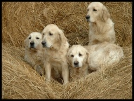 Members Golden Retriever