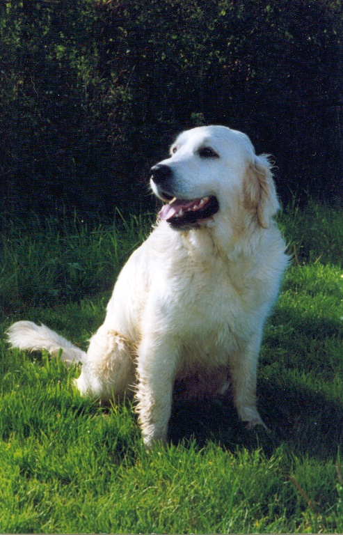 Netley Marsh Golden Retriever