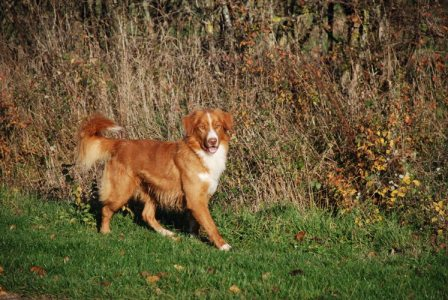 Paris 3 Nova Scotia Duck Tolling Retriever