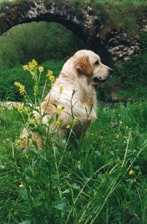 Rex Golden Retriever